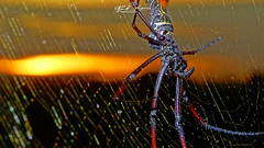 TECELÃ_DOURADA_CONTEMPLANDO_PÔR_DO_SOL_CARAMAJA_NAMPULA_MOÇAMBIQUE (Nephila inaurata) (paulomarquesfotografia) Tags: paulo marques sony hx400v aranha spider nephila inaurata super macro bokeh sunset por do sol pordosol web golden dourada tecelã teia