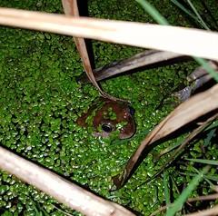 Midnight frog (Angela Farrington) Tags: frog commonfrog gardenwildlife gardenpond