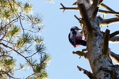 Dendrocopos major, great spotted woodpecker  (Nuuksio national park, Velskola, Espoo, 20180330) (RainoL) Tags: crainolampinen 2018 201803 20180330 animal animals bird birds dendrocopos dendrocoposmajor esbo espoo finland fz200 geo:lat=6031132445 geo:lon=2462474531 geotagged greatspottedwoodpecker käpytikka march nationalpark nouxnationalpark nuuksionationalpark nuuksionkansallispuisto nyland uusimaa velskola winter vällskog fin hog2018
