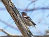 EM119141_DxO.jpg (riccardof55) Tags: birdwatching ferrazze uccello fringuello fossamurara