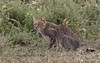 The Luckiest Sighting Of Them All (AnyMotion) Tags: southernafricanwildcat südlicheafrikanischewildkatze felislybicacafra cat katze shy scheu 2018 anymotion ndutu serengetisouth kusini tanzania tansania africa afrika travel reisen animal animals tiere nature natur wildlife 7d2 canoneos7dmarkii ngc