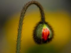 * (t*tomorrow) Tags: panasonic lumix gx8 flower 40mm ポピー poppy