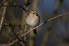 Chaffinch (Steve (Hooky) Waddingham) Tags: stevenwaddinghamphotography animal bird british song wild wildlife winter nature countryside photography finch green