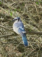 Blue Jay 1 (D. S. Hałas) Tags: halas hałas canada ontario haltonregion haltoncounty oakville shellpark chordata sarcopterygii aves passeriformes corvidae cyanocittacristata bluejay jay bird