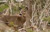 Whitetail deer (phildumond) Tags: whitetail deer acadia national park wildlife nature