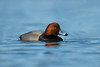 Redhead (nikunj.m.patel) Tags: redhead duck ducks waterfowl nature wild wildlife nikon naturephotography d850 outdoors migration wildfowl winter