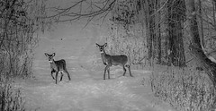 Evening Travelers (Wes Iversen) Tags: brighton clichesaturday hcs kensingtonmetropark michigan milford tamron150600mm animals blackandwhite deer mammals monochrome snow whitetaileddeer wildlife winter
