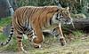 sumatran tiger Burgerszoo BB2A9504 (j.a.kok) Tags: tijger tiger sumatraansetijger sumatrantiger pantheratigrissumatrae animal asia azie predator kat cat mammal zoogdier dier burgerszoo