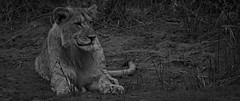 Shadow Lioness (Coisroux) Tags: lioness lions wildlife big5 kwandwe safari southafrica blackandwhite monochrome shadows d5500 nikond hss monochromia