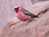 Sinai Rosefinch (Wild Chroma) Tags: carpodacus synoicus carpodacussynoicus rosefinch sinai birds jordan passerines wadi rum wadirum