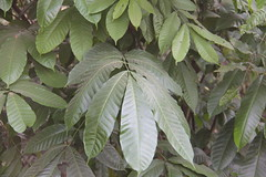Aphanamixis polystachya_Karjat Shakti Mehta1 (Alka Khare) Tags: aphanamixis meliaceae