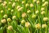 Tulips (romanboed) Tags: leica m 240 summilux 50 europe netherlands holland dutch flower fields flowers field farm agriculture agribusiness spring jaro holandske kvetiny jarni tulip bokeh buds