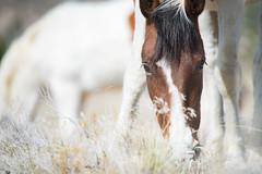 Wild Horse Adventures (Jami Bollschweiler Photography) Tags: wild horses utah wildlife photography only cremello stallion filly baby male free west desert