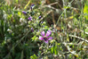 Ψίνθος (Psinthos.Net) Tags: ψίνθοσ psinthos spring άνοιξη απρίλησ απρίλιοσ nature countryside φύση εξοχή γύρη pollen χόρτα greens drygrass ξεράχόρτα φύλλα leaves sunnyday day μέρα ηλιόλουστημέρα φώσ light μαλάχη μολόχα μολόχεσ mallow marshmallow marshmallows mallows purpleblossoms purpleblossom μώβάνθη μώβάνθοσ μώβανθόσ άγριαλουλούδια αγριολούλουδα wildflowers flowers flower λουλούδια λουλούδι wildflower herb βότανο χωράφι field μπουμπούκια buds άγριολουλούδι αγριολούλουδο