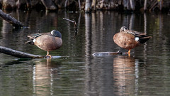 IMG_8717 (brian.a.stamper) Tags: bird bluewingedteal anasdiscors