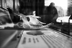 Skull 194.365 (ewitsoe) Tags: monochrome window display skull cow animal canon bnw blackandwhite remains weird strange odd person walking warsaw warszawa poland cityscape urban