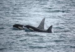 Killer Whale (my-northlands.com) Tags: killer whale canon canon5dmarkiii tamron 100400 sea marine mammals ocean orca