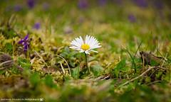 A little daisy in the garden. (andreasheinrich) Tags: spring nature flower daisy garden march sunny warm small germany badenwürttemberg neckarsulm dahenfeld deutschland frühling natur blume gänseblümchen garten märz sonnig klein nikond7000