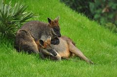 Wallabia bicolor - Swamp Wallaby (Going to the Zoo with Trebaruna) Tags: 15082011 2011 netherlands rotterdam rotterdamzoo diergaardeblijdorp diergaarderotterdam diergaarde animal zooanimal