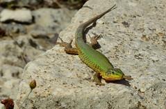 Maltese Wall Lizard (Podarcis filfolensis) (Nick Dobbs) Tags: reptile lizard podarcis filfolensis maltensis maltese wall malta animal outdoor gremxula komuni ta