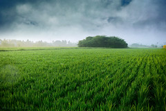 Untitled (Suresh V Raja) Tags: farm field agriculture cultivation beautiful nature beautifull sky clouds nikon suresh chennai tamilnadu india sureshcprog sureshphotography d5300 landscape
