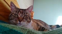 Reposando (angeliquita) Tags: gatos cats kitty kitten pets mascota cute feline atigrado tabby xica motorolaxt1068