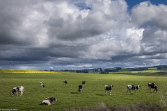 Cows Under an Unsettled Sky (allentimothy1947) Tags: califonia landscape petaluma sonomacounty blue clouds cows flowers green hills light mustard rain rolling shadow sky trees wet white pasture dairy holstein unsettled weather photography bovine