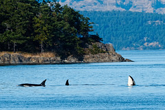 Orca Spyhopping (ferglandfoto) Tags: d5c6346 orca orcas killerwhale killerwhales whale spyhopping pod orcapod wildlife whalewatching whalephotography wildlifepic wildlifephotography