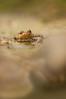 Crapaud commun (schwartzdavid57) Tags: 2018 crapaud frog macro 180mm pentax toad