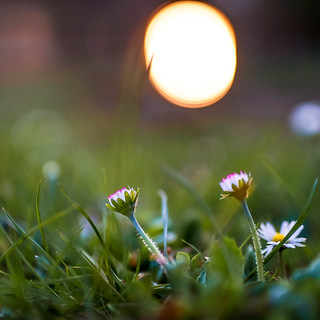 Sunset daisies | SONY ⍺7III & Sigma 1.4/50 Art