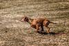 "Meet ""Step""... (Portraying Life, LLC) Tags: dbg6 da3004 hd14tc k1 michigan pentax ricoh unitedstates closecrop handheld nativelighting vizsla chparadoxstepnoutjh sportingdog"