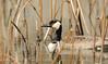 In the Weeds (maatseshat) Tags: goose nikon d2xs tamron150600mmf563