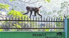 Monkey Crossing (richard_fernando) Tags: ngc animal magical india green apes ape crazy painless superpower nature greenery rishikesh fence crossing monkeys monkey
