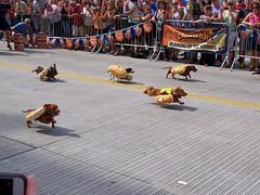 OH Cincinnati - Running Of The Wieners 2 (scottamus) Tags: cincinnati ohio hamiltoncounty fair festival oktoberfest zinzinnati runningofthewieners race dachshund wienerdog