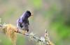 Réunion bulbul (Ersin Demir) Tags: reunionbulbul hypsipetesborbonicus bulbul reunionbulbyl bird birds fågel kuş reunion africa nature wildlife nikond5100 nikon70300mm