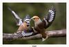 Gros becs casse-noyaux (gilbert.calatayud) Tags: coccothraustescoccothraustes fringillidés grosbeccassenoyaux hawfinch passériformes bird oiseau busque tarn occitanie