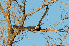 Bald Eagle launch in the morning light - 5 of 13