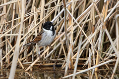 Male Reed Bunting - Explore #487 31-03-2018 (Karen Roe) Tags: lakenheath fen lakenheathfen naturereserve nature reserve suffolk county england britain uk unitedkingdom greatbritain gb canoneos760d canon 760d 150600mm sigma zoom wildlife hide march 2018 peaceful quiet tranquil outside spring weather season camera photography photograph photographer picture image snap shot photo karenroe female flickr visit visitor rspb royal society protection birds member