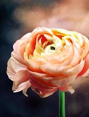Serenity (barbara_donders) Tags: natuur nature bloem flower pioenroos peony roze pink mooi prachtig beautifull beauty magical macro bokeh spring lente
