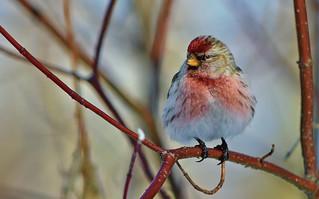 Common redpoll (male) / Urpiainen (koiras) 💖