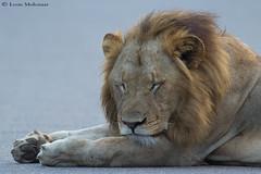 Do Not Disturb (leendert3) Tags: leonmolenaar southafrica krugernationalpark wildlife nature africanlion mammals ngc npc