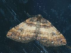 Earophila badiata - Shoulder stripe - Ларенция розанная