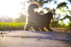 Pepita (Melissa Osorio Photography) Tags: cat gato neko pet animals persian walk green sidewalk nature tail fluffy melissaosorio melissa osorio photo photography beautiful beauty