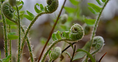 The Baby Nursery (BKHagar *Kim*) Tags: bkhagar fern ferns plants green spring unrolling unfurling nature outdoor woods