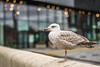 13/52: The Liver Bird (judi may) Tags: 52weekchallenge bird gull liverpool building architecture glass window windowwednesday bokeh depthoffield dof wall reflections shiny canon7d 50mm