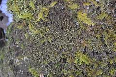Liverworts (Kyle Hartshorn) Tags: cold winter unitedstates northamerica ohio lickingcounty blackhandgorge lickingriver fieldwork gorge river botany bryology plant plants bryophytes liverwort liverworts