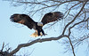 Bald Eagle touching down. (kconnelly03) Tags: bald eaglenjnew jersey