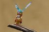 Kopula(Alcedo atthis)©Arne Flemke (Arne Flemke-Gezeiten Photography) Tags: kingfisher eisvogel wümme wümmewiesen blockland niederblockland bremen
