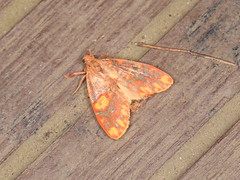 Barsine sp. (dhobern) Tags: 2018 china lepidoptera march xtbg xishuangbanna yunnan erebidae arctiinae lithosiini barsine