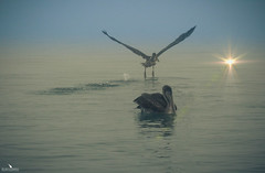 Galapagos Brown Pelican (pbmultimedia5) Tags: galapagos brown pelican bird sea water island sunset ecuador pbmultimedia